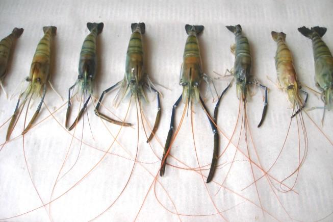 shrimp 061