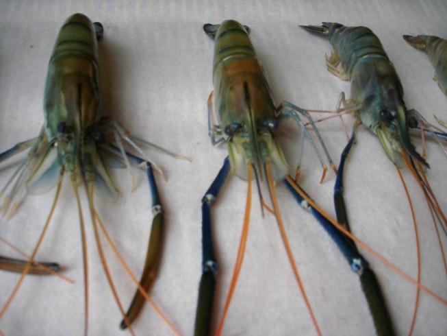 shrimp 062