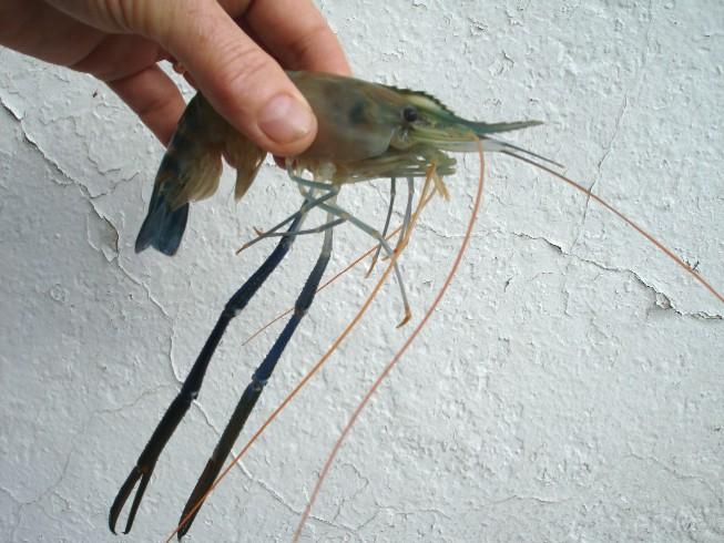 shrimp 064