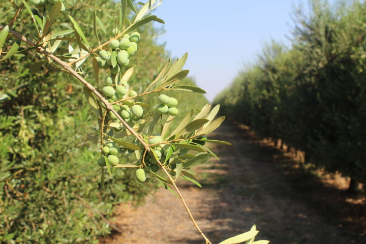 California Olive Oil Olive Oil Revolution Archives Pizzagoon